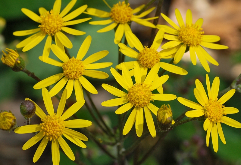 NFU warns farmers to be wary of ragwort poisoning
