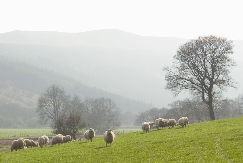 'Cloud of uncertainty': Farming union urges retailers to commit to Welsh lamb