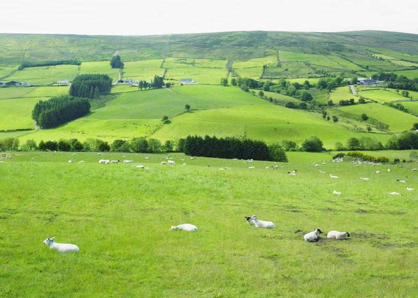 Rustlers steal 21 sheep in Sperrin mountains, Northern Ireland