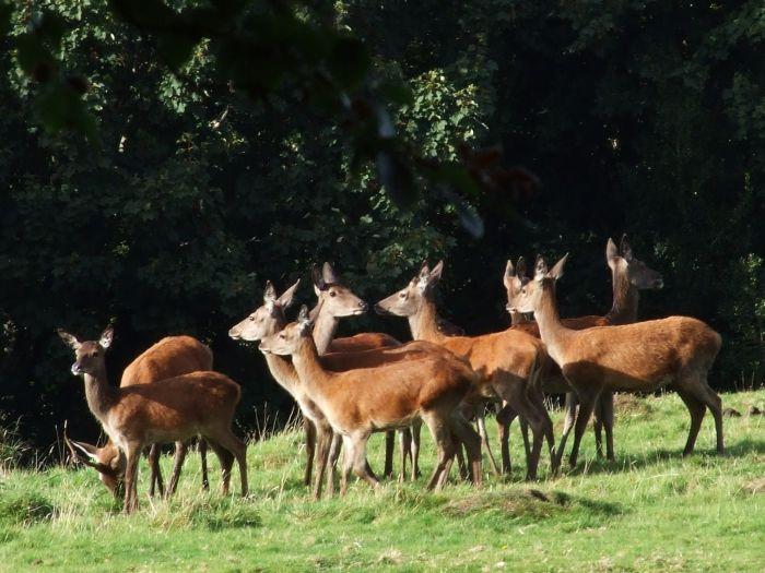 Scottish farmers told of 'rewarding opportunities' in deer farming