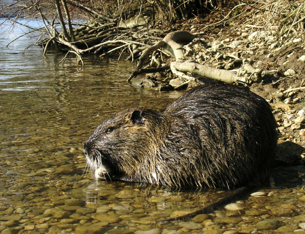 Rat-like rodent Coypu loose in Ireland could devastate local farming