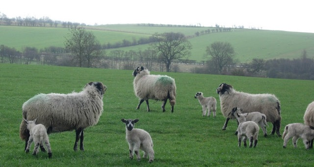 Fourteen pregnant sheep stolen from Cumbrian farm