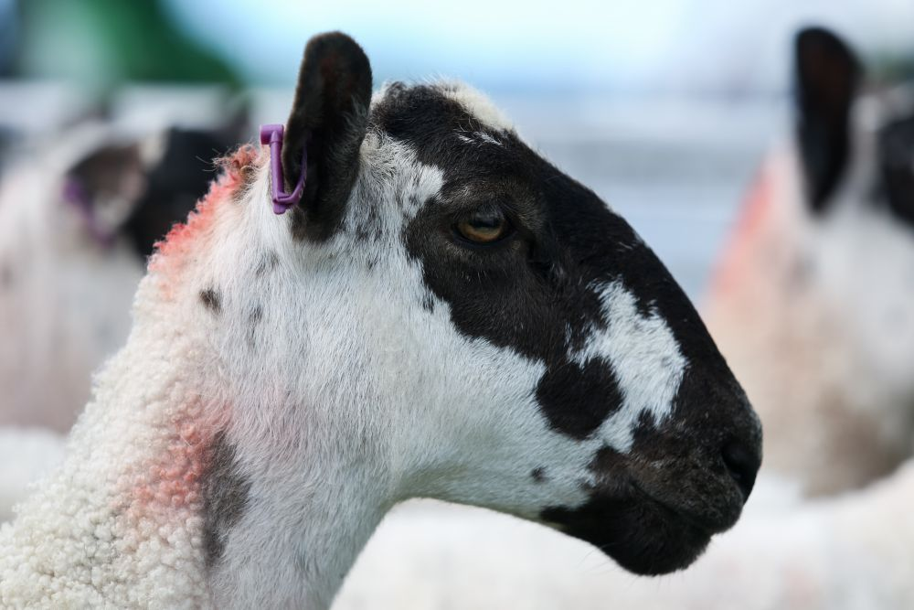 Video: UK sheep industry warns of potential volatility of Brexit