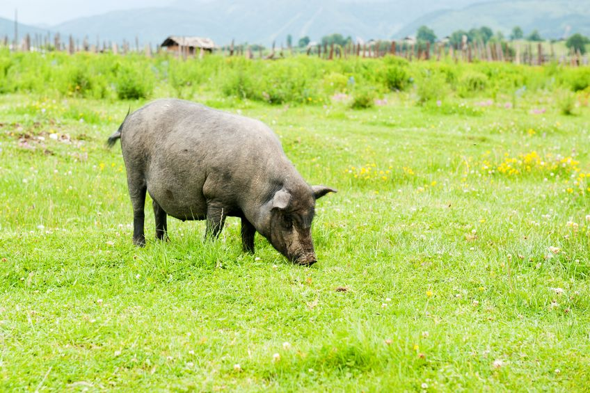'Lucrative opportunities': Asia 'incredibly important' market for UK pork sector