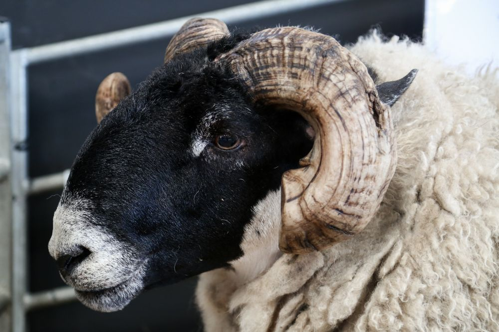 'Uncertain and volatile': British wool market down 13 per cent compared to last year