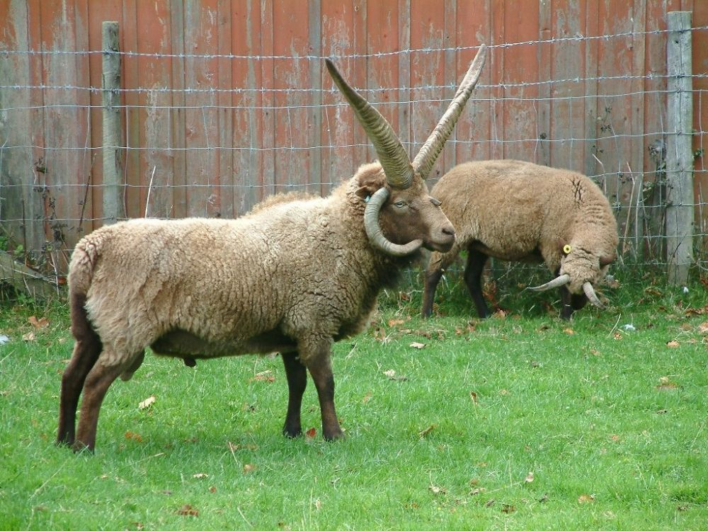 Rare Manx sheep breed 'at risk' to be in spotlight at Isle of Man conference