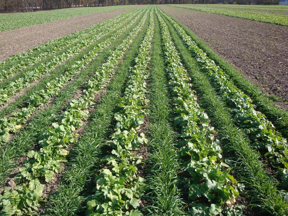 Farmers to be paid to improve water quality by growing cover crops