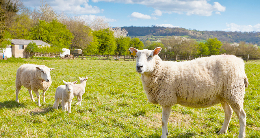 Sheep disease dashboard launched by government