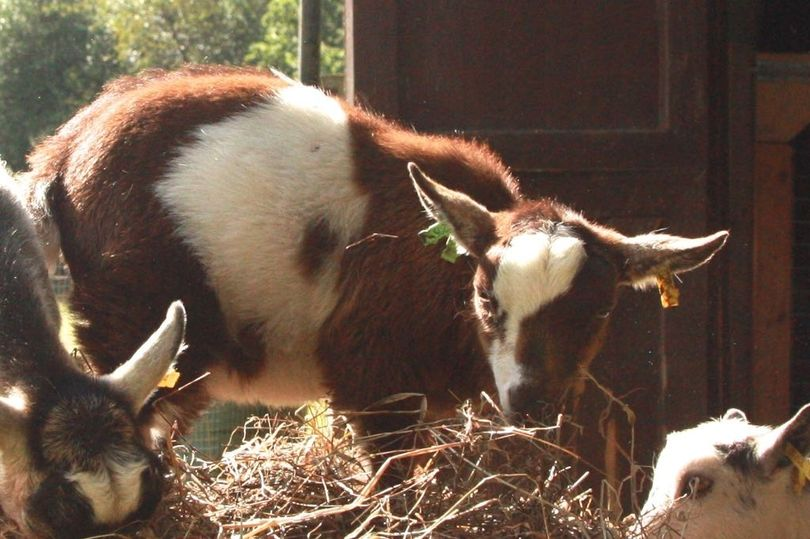 One-year-old pygmy goat 'Gertie' stolen from Surrey farm