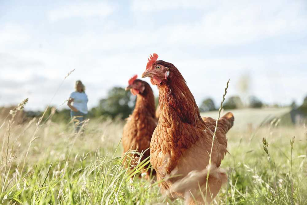 Waitrose wins 'Best Retailer Award' for farm animal welfare