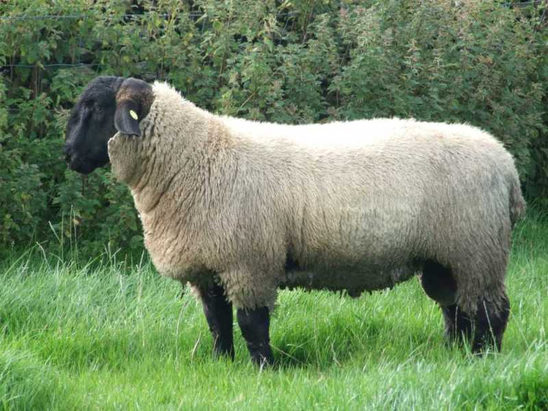 Sheep have ears cut off in violent attack on farm