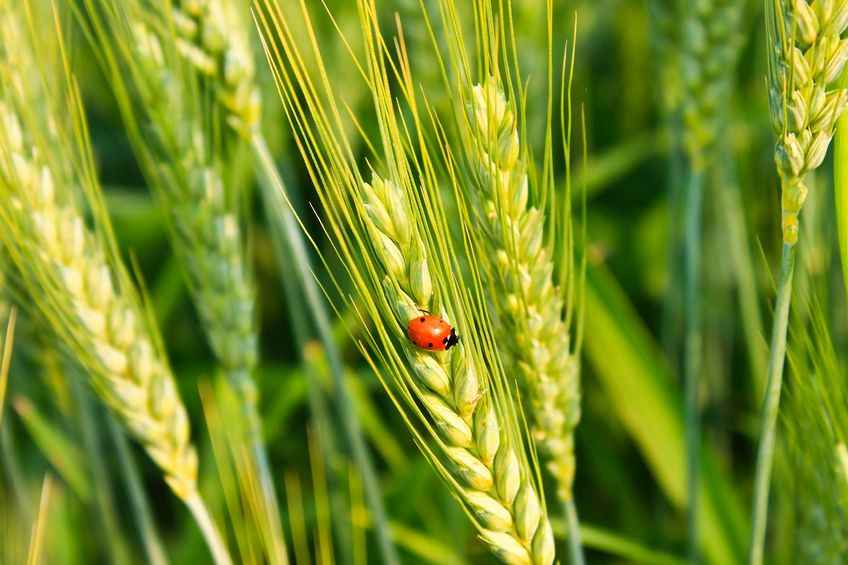 UK in 'race against time' to develop climate resistant crops