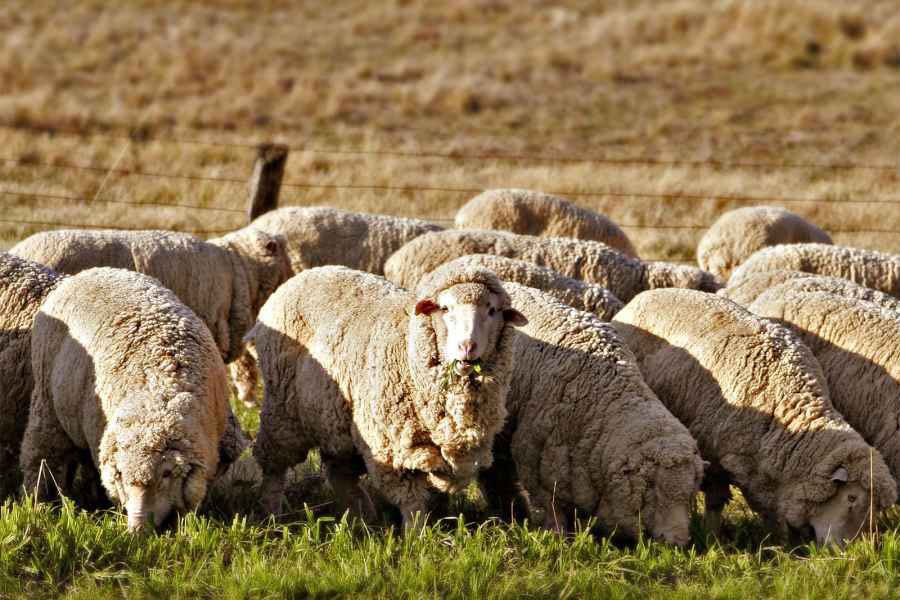 GM sheep infected with Huntington's disease to provide scientists with answers