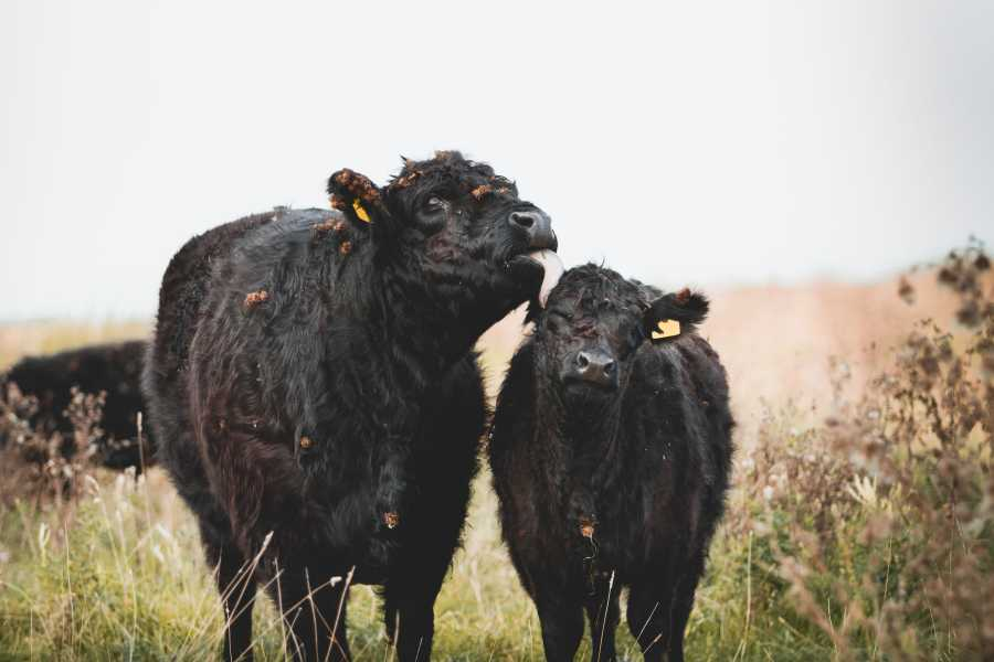 Contaminated feed 'likely source' of isolated mad cow disease infections