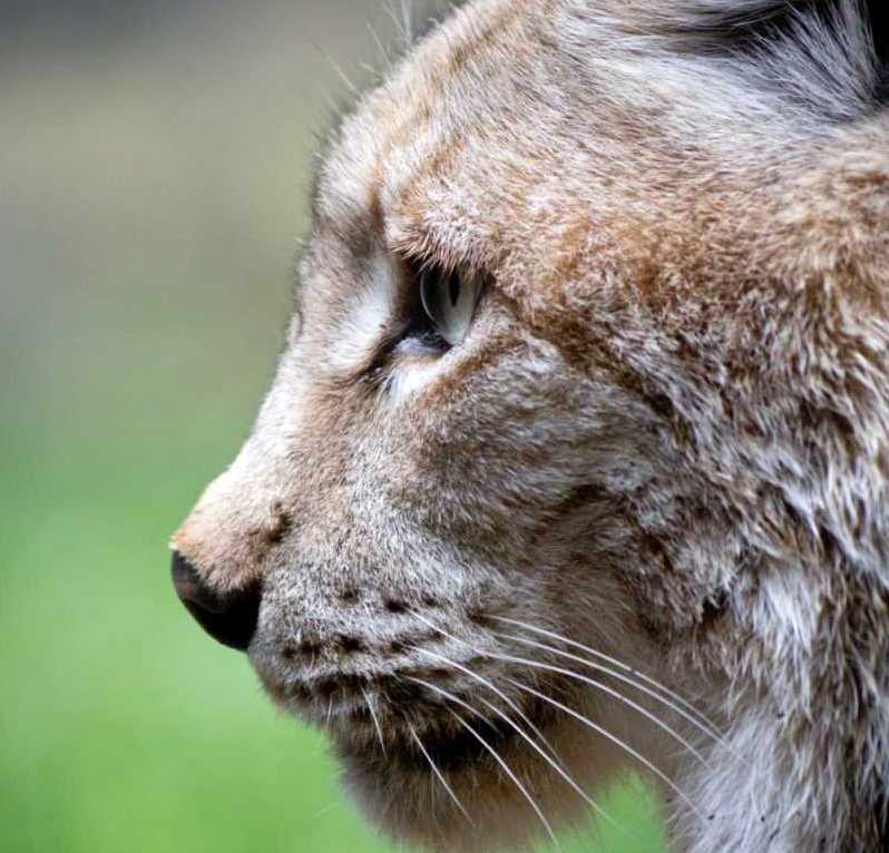 Plans submitted for lynx to be reintroduced at Kielder Forest