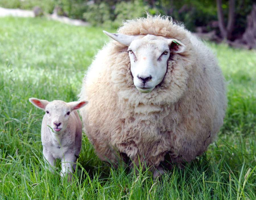 Enzootic abortion of ewes is the most commonly diagnosed cause of abortion and is responsible for around 50% of sheep abortions in the UK (Photo: Keven Law)