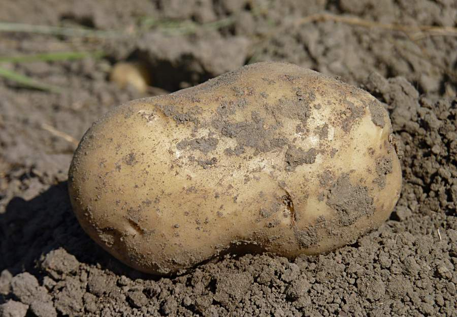 According to AHDB, Maris Piper still comfortably remains the most planted variety