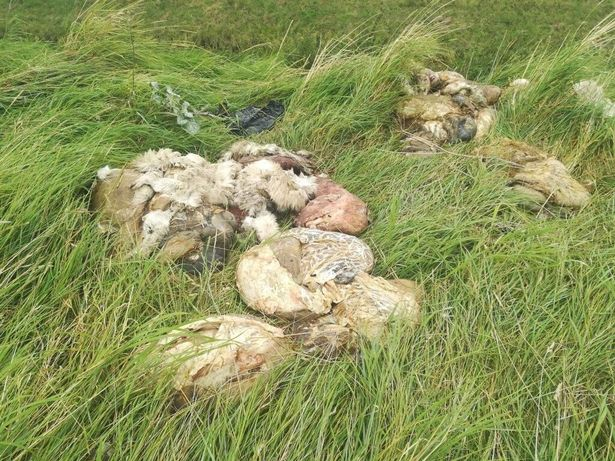 Gruesome footage emerges showing sheep remains dumped on country lane