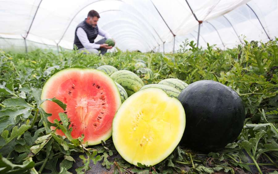 Growers produce 1,000 British watermelons in bid to champion local produce