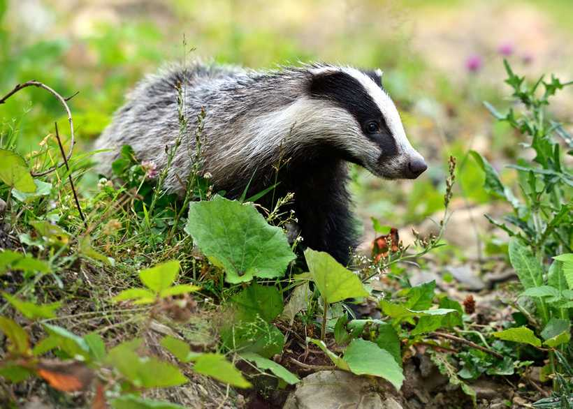 Badger Edge Vaccination Scheme relaunched to combat 'devastating impact' of bovine TB