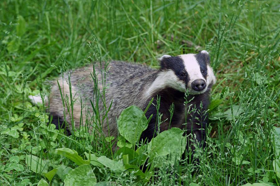 Cheshire East Council bans badger culling on land
