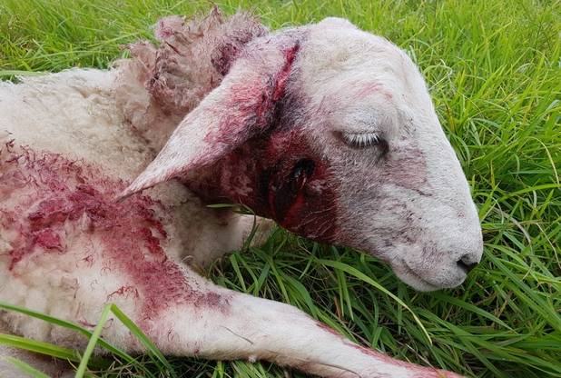 Sheep had tail amputated in medical emergency following brutal dog attack