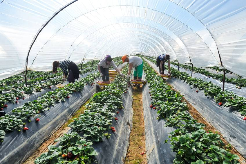 Pest damage and 'wonky' crops sees UK bin £30m worth of strawberries and lettuce