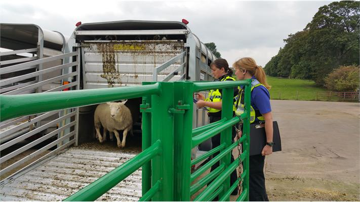 Cumbria Police crack down on sheep theft with three-day operation