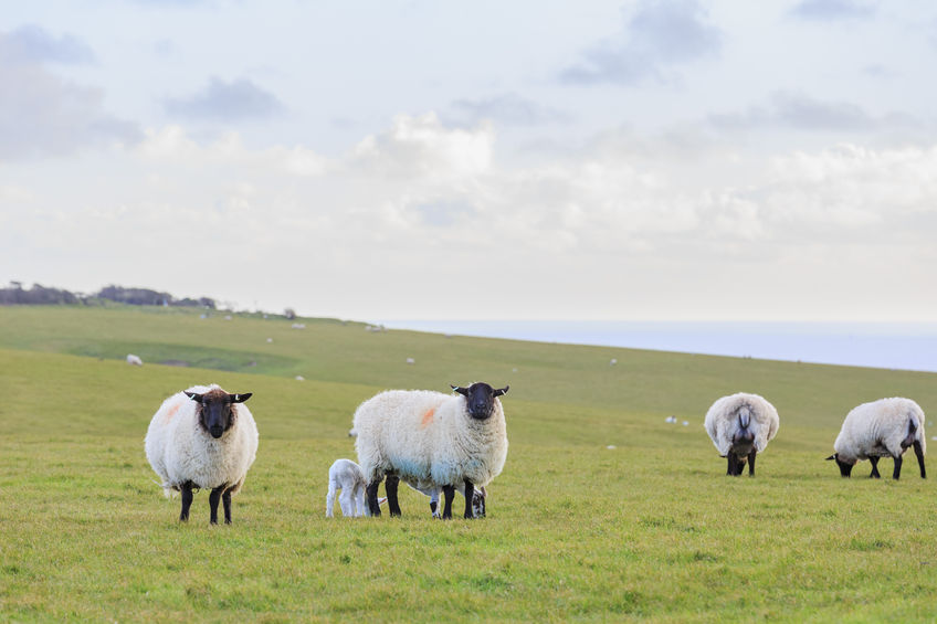 Sheep farmers urged to tackle 'fatal' and 'infectious' lung condition in flocks