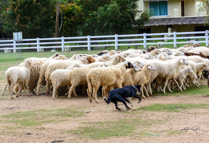 Sheep killed by two dogs in front of shocked schoolchildren