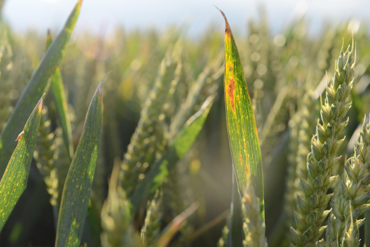 Barley Yellow Dwarf Virus surges in crops as warm autumn hits UK