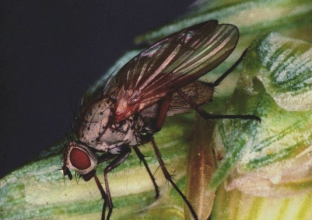 Lowest wheat bulb fly risk since monitoring began