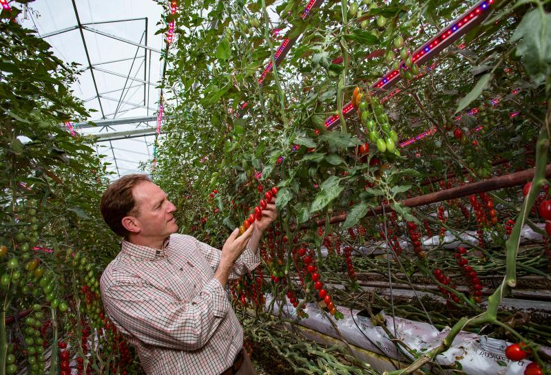 Farmer using light technology capable of producing British tomatoes year-round