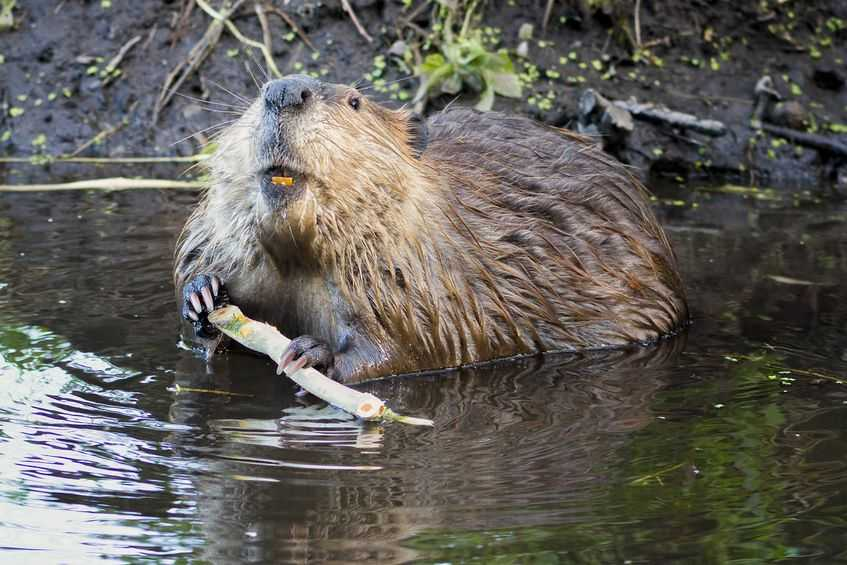 Farmers urge 'management' of beavers as more are released in Scottish wild