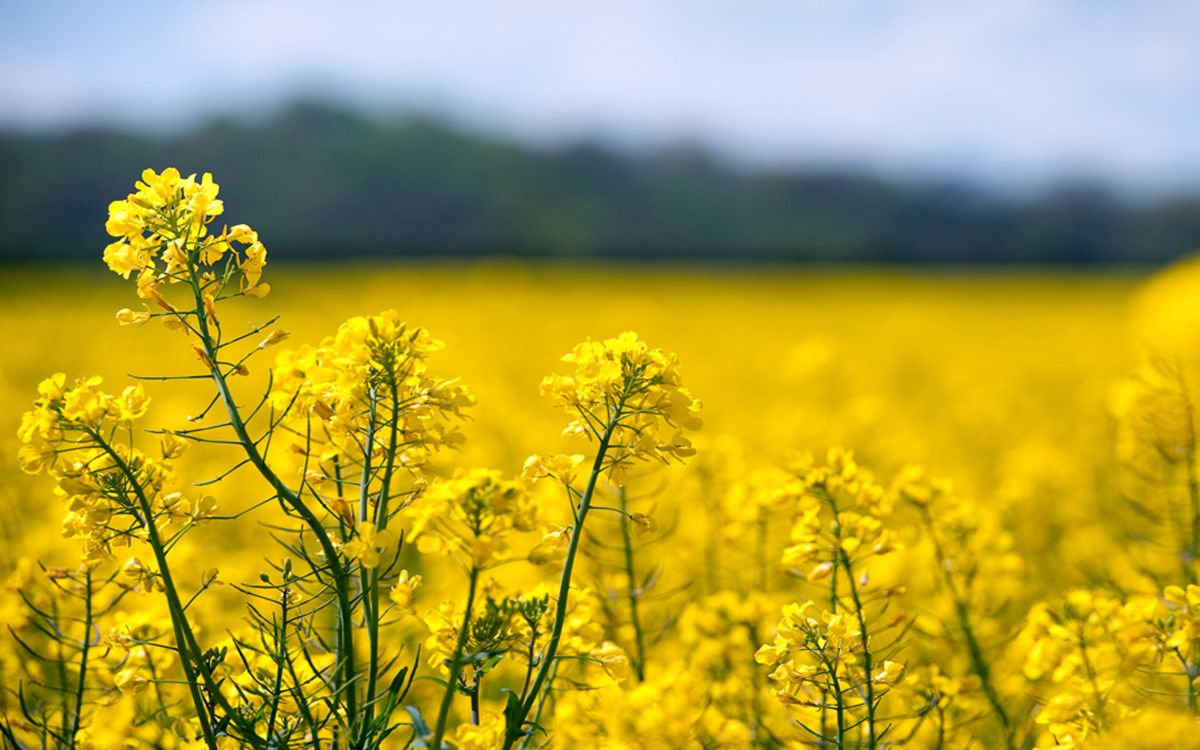 Oilseed rape crop yields above average despite neonics ban