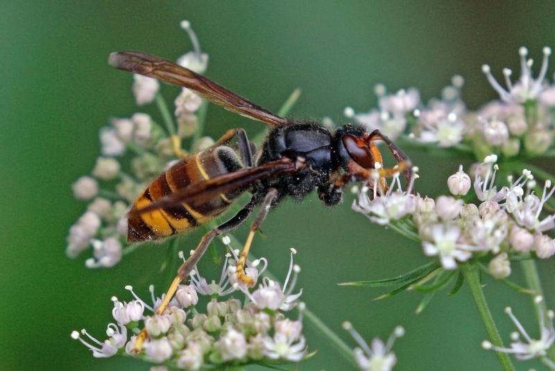 Asian hornet outbreak contained in Devon