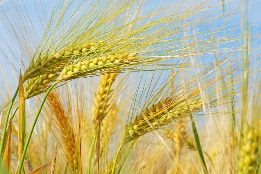 Barley scientists discover path to improved grain quality