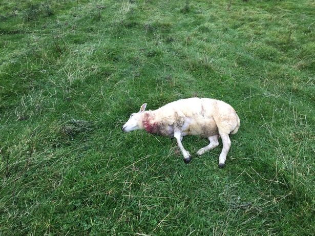 Farmer 'at end of tether' after losing fifth of flock to relentless dog attacks