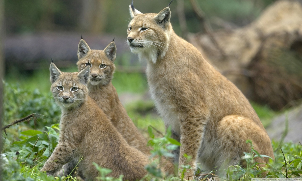Lynx on the loose in Wales could pose threat to local livestock