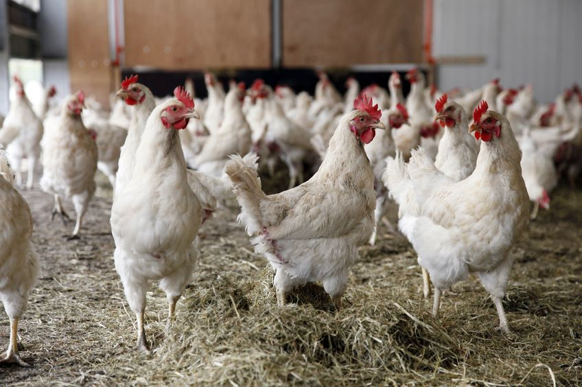 A new poultry research unit has opened at Nottingham Trent University