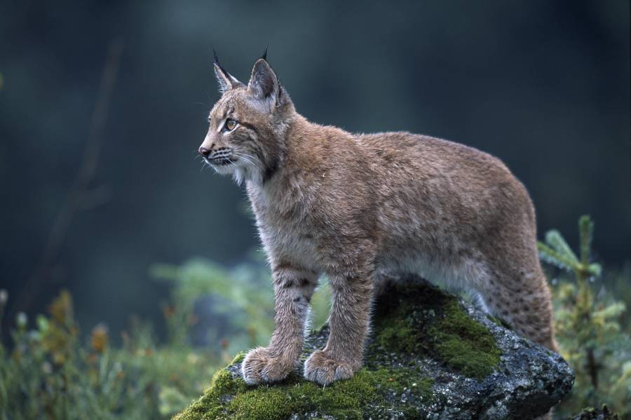 Escaped lynx from zoo kills seven sheep whilst in the wild