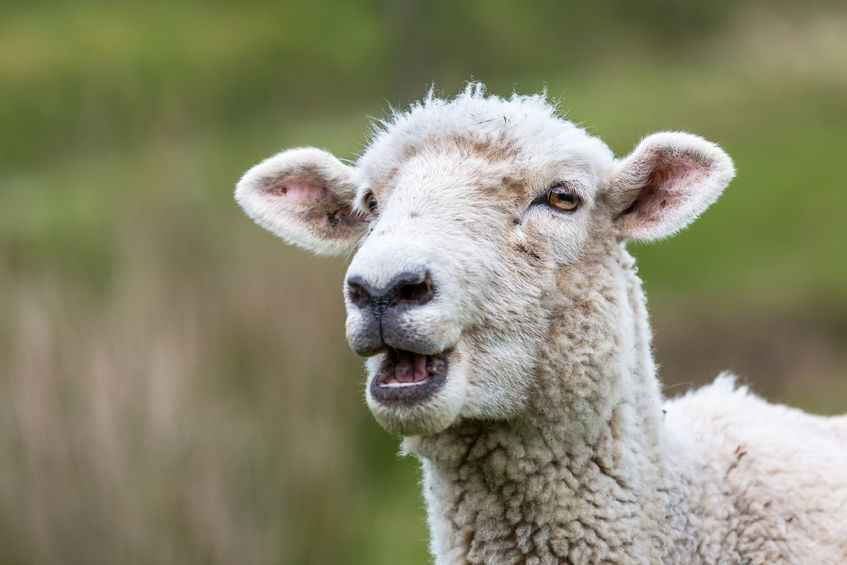 Video: Sheep 'can recognise human faces', research suggests