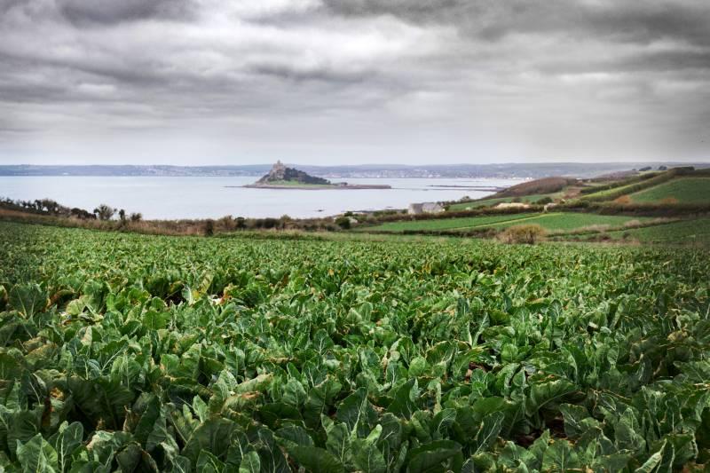 Cornish coastal conditions allow British cauliflowers to prosper this winter