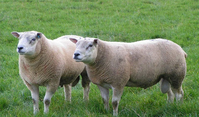 Three new estimated breeding values generated after sheep initiative