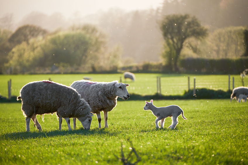 Polish meat industry given 'Great British lamb experience'