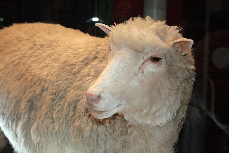 The world's most famous sheep, Dolly, made history by being the first mammal to be cloned from an adult cell