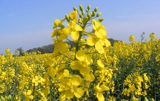 Oilseed rape plantings increase by 9 percent due to higher prices