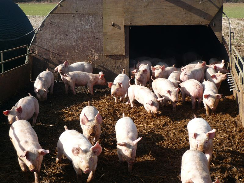 Twenty-one pigs stolen from North Yorkshire farm
