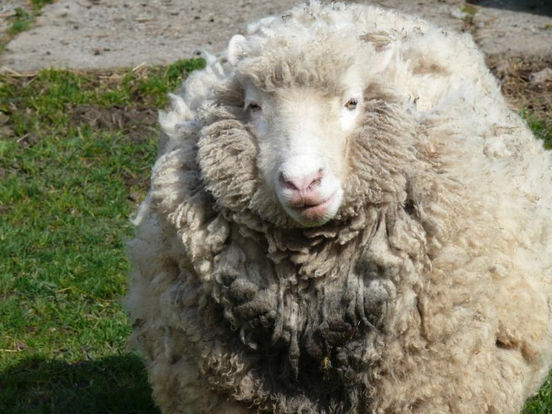 Young farmers sought to help develop UK sheep industry