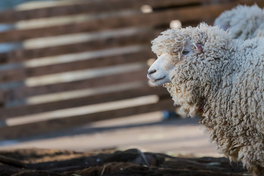 Woman charged following sheep worrying incident in Scotland